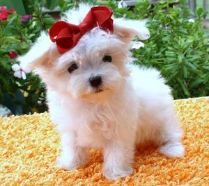Pa Adorable Male And Female Maltese Puppies For Free Adoption